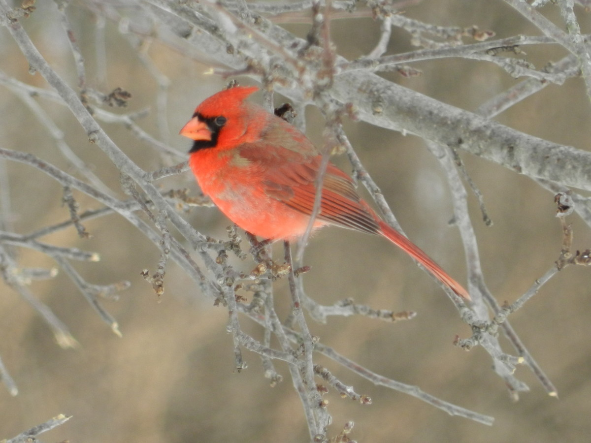 Cardinals do not migrate. They'll stick around through the cold winter months.