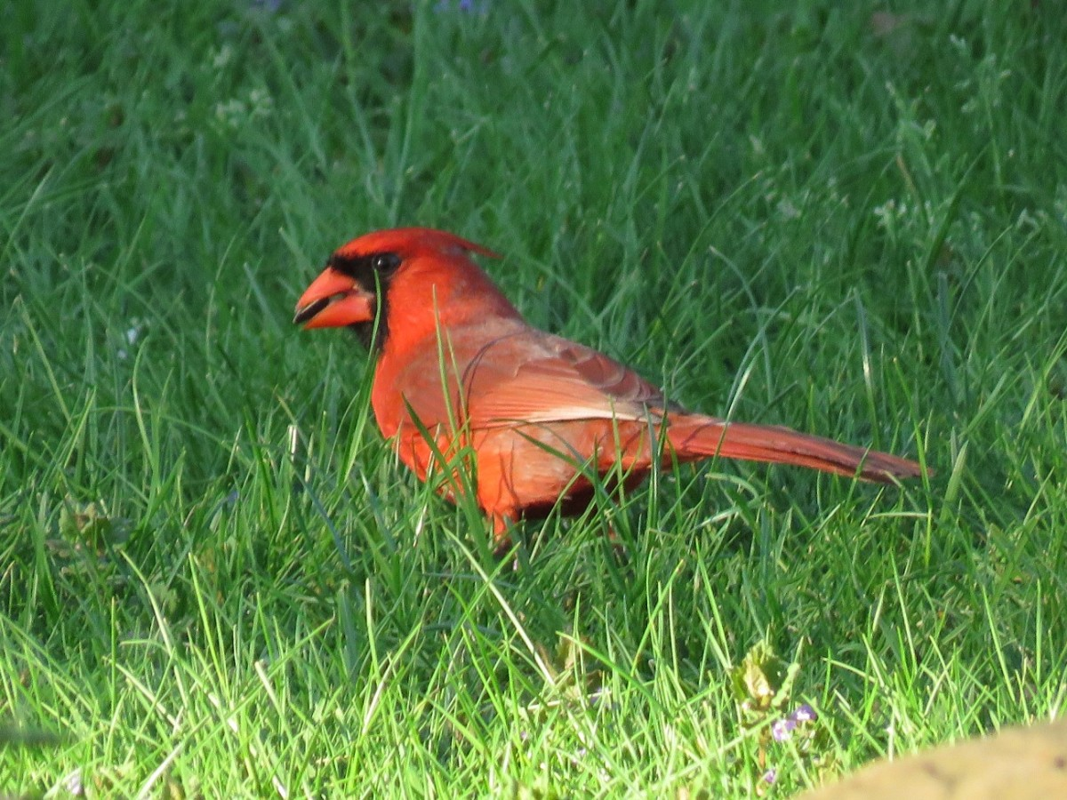 Cardinals are ground foragers, but a the right bird feeder helps keep them off the ground.