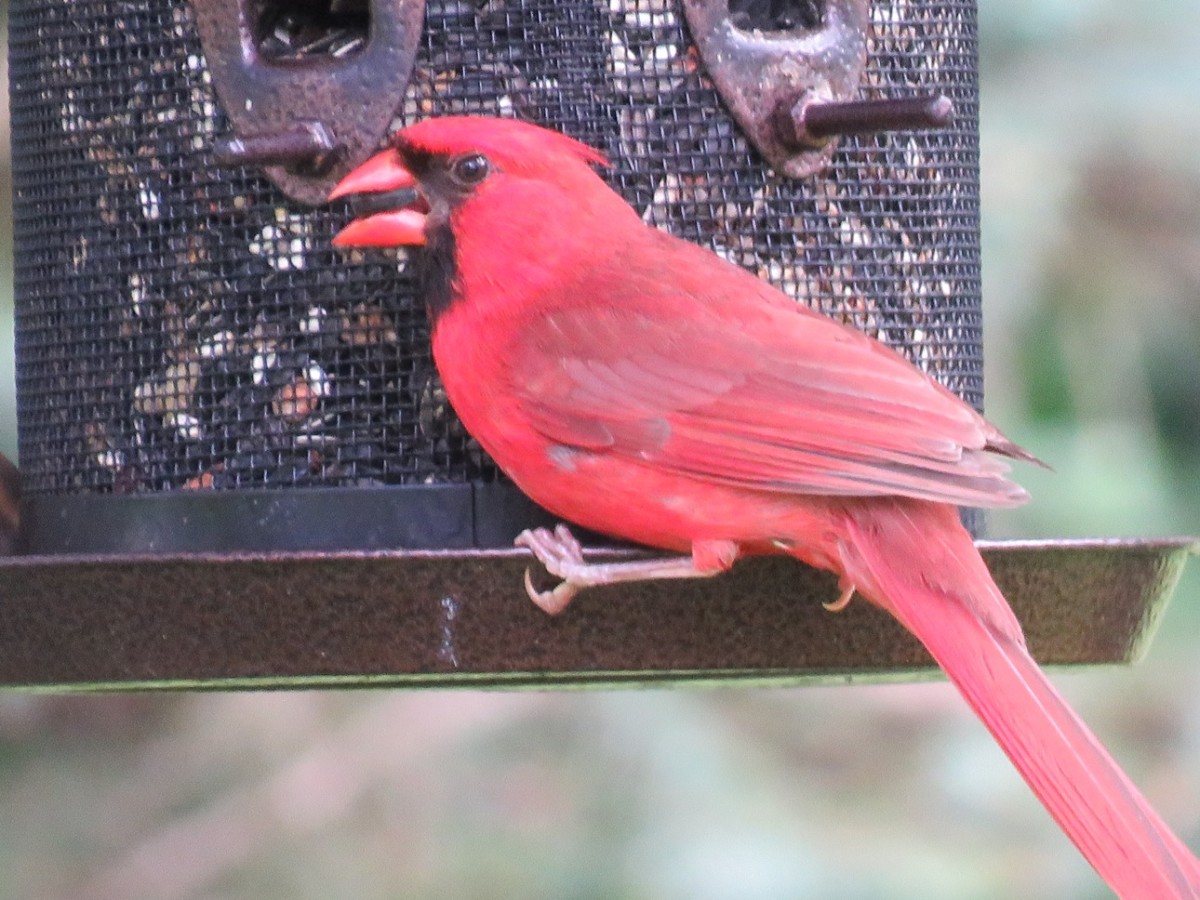 Cardinals will eat safflower and sunflowers seed that are tough for other birds to open.