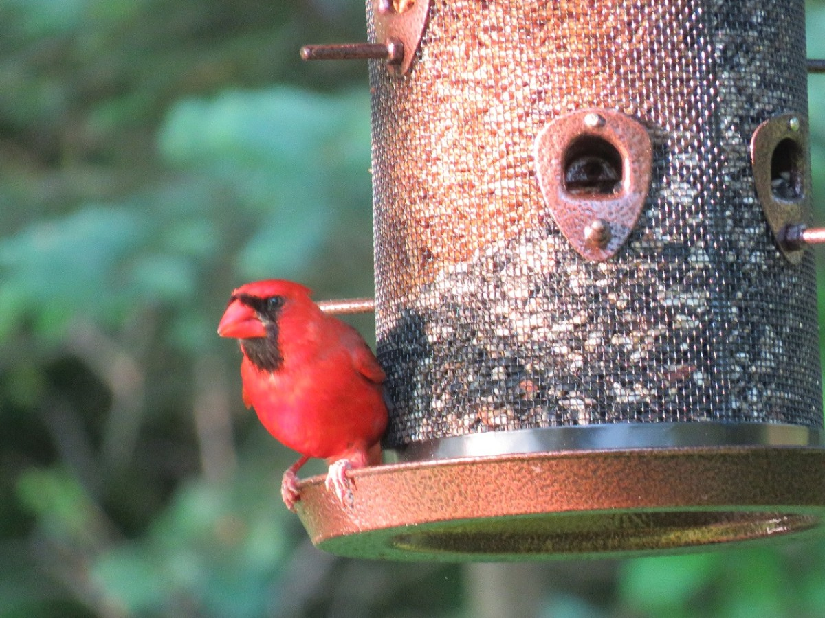 Cardinals need feeders with large perches.