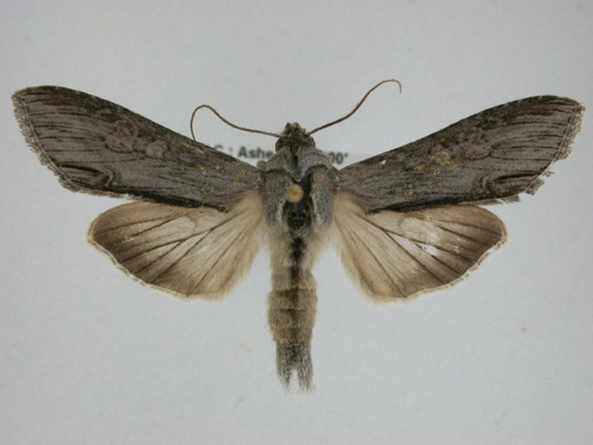 Cucullia Moth