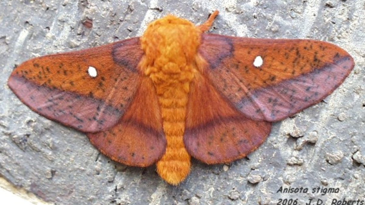 Orange-Striped Oakworm Moth