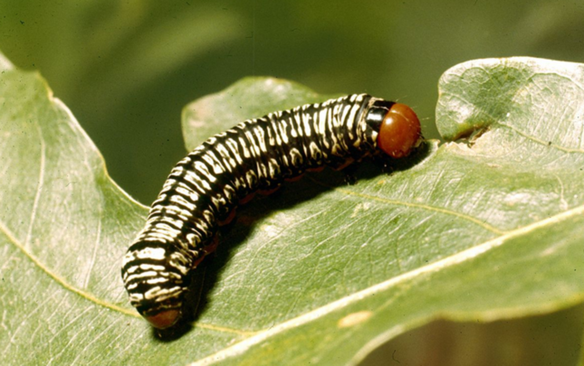 Cross-Striped Cabbage Worm