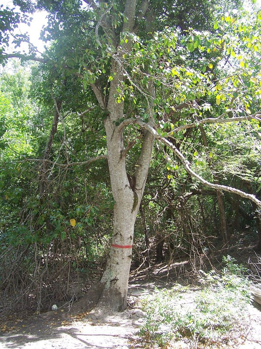 The Manchineel tree is sometimes seen with red paint around the trunk, to warn unsuspecting beach goers.