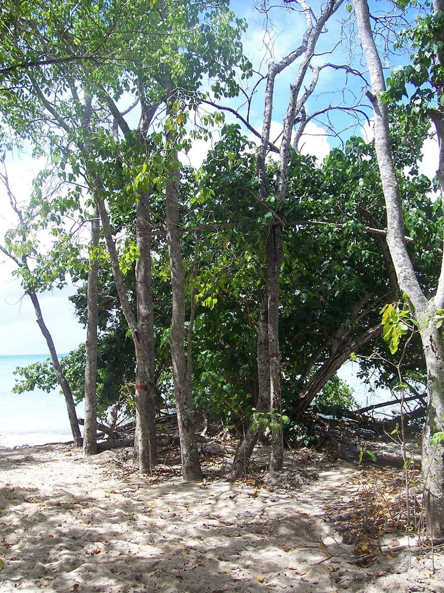 The Manchineel trees tend to grow in clusters, on tropical beach shores.