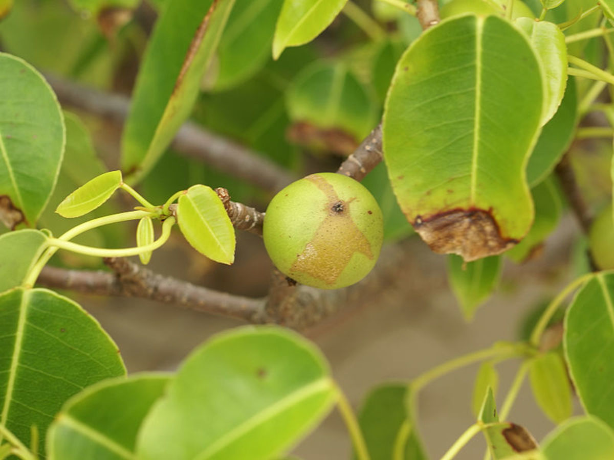 The Manchineel fruit is juicy and tasty. It resembles a little apple, but Beware! One bite can be fatal.