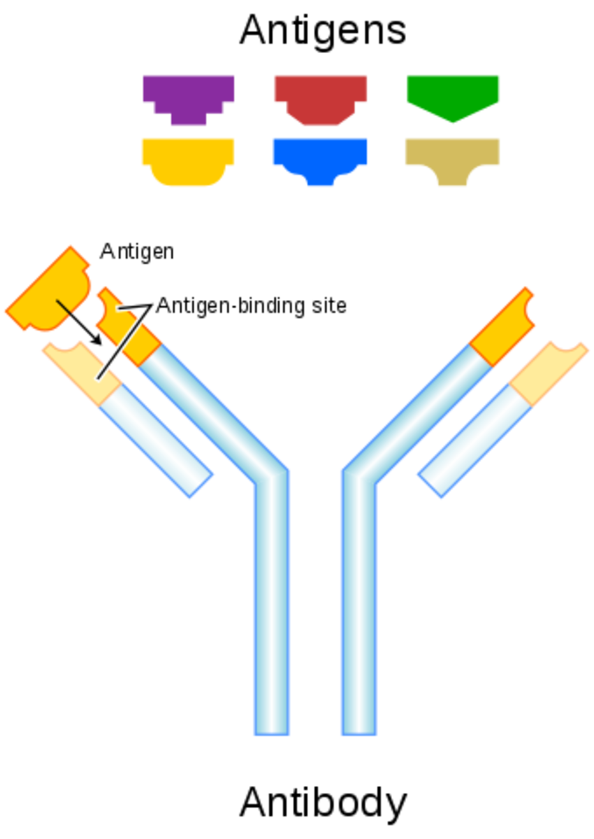 Antibodies are y-shaped and bind to antigens.
