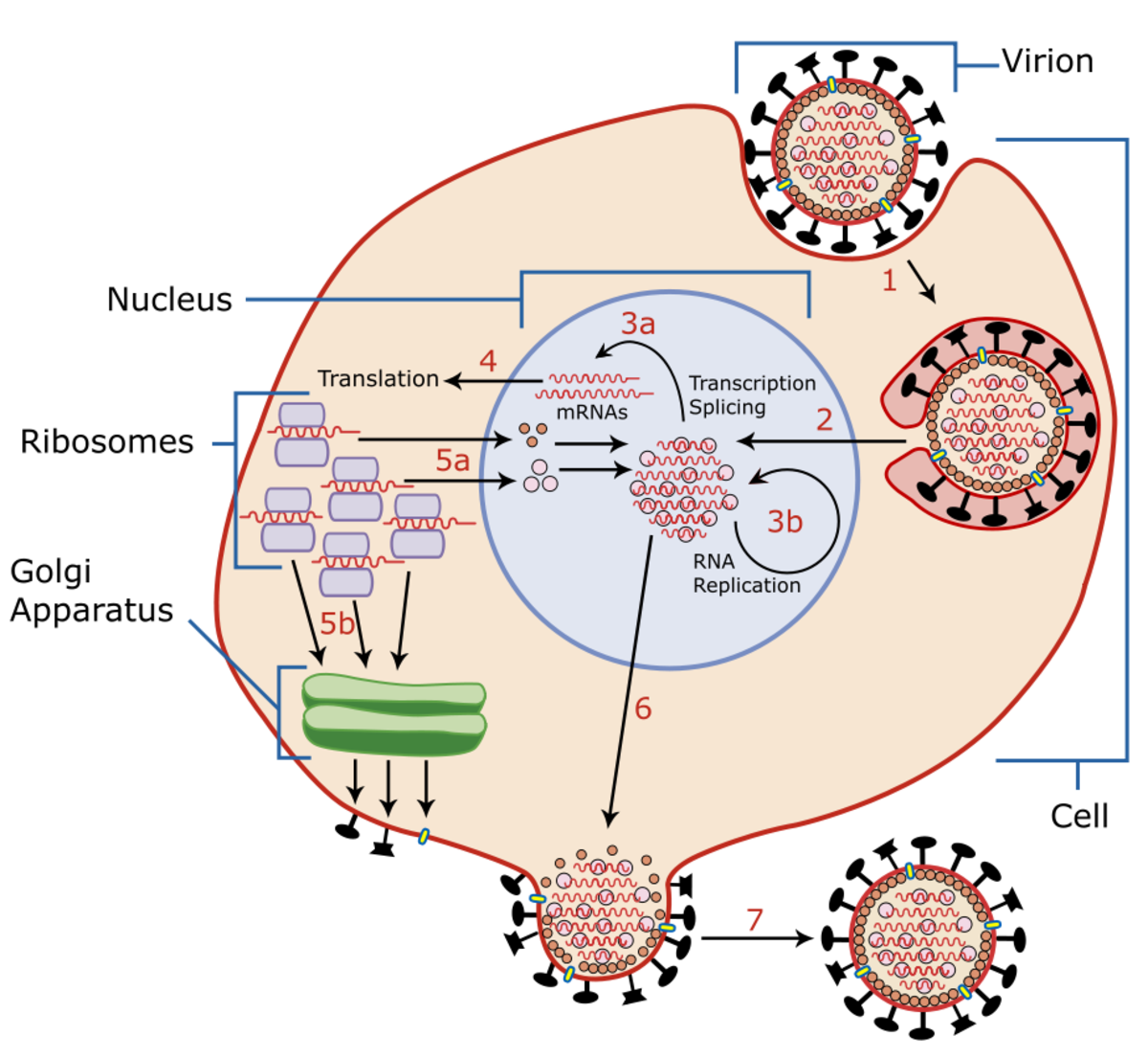 Influenza viral cell invasion and replication