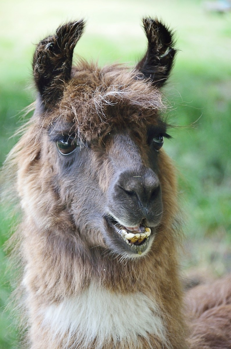 One feature that distinguishes llamas from alpacas is their banana-shaped ears.