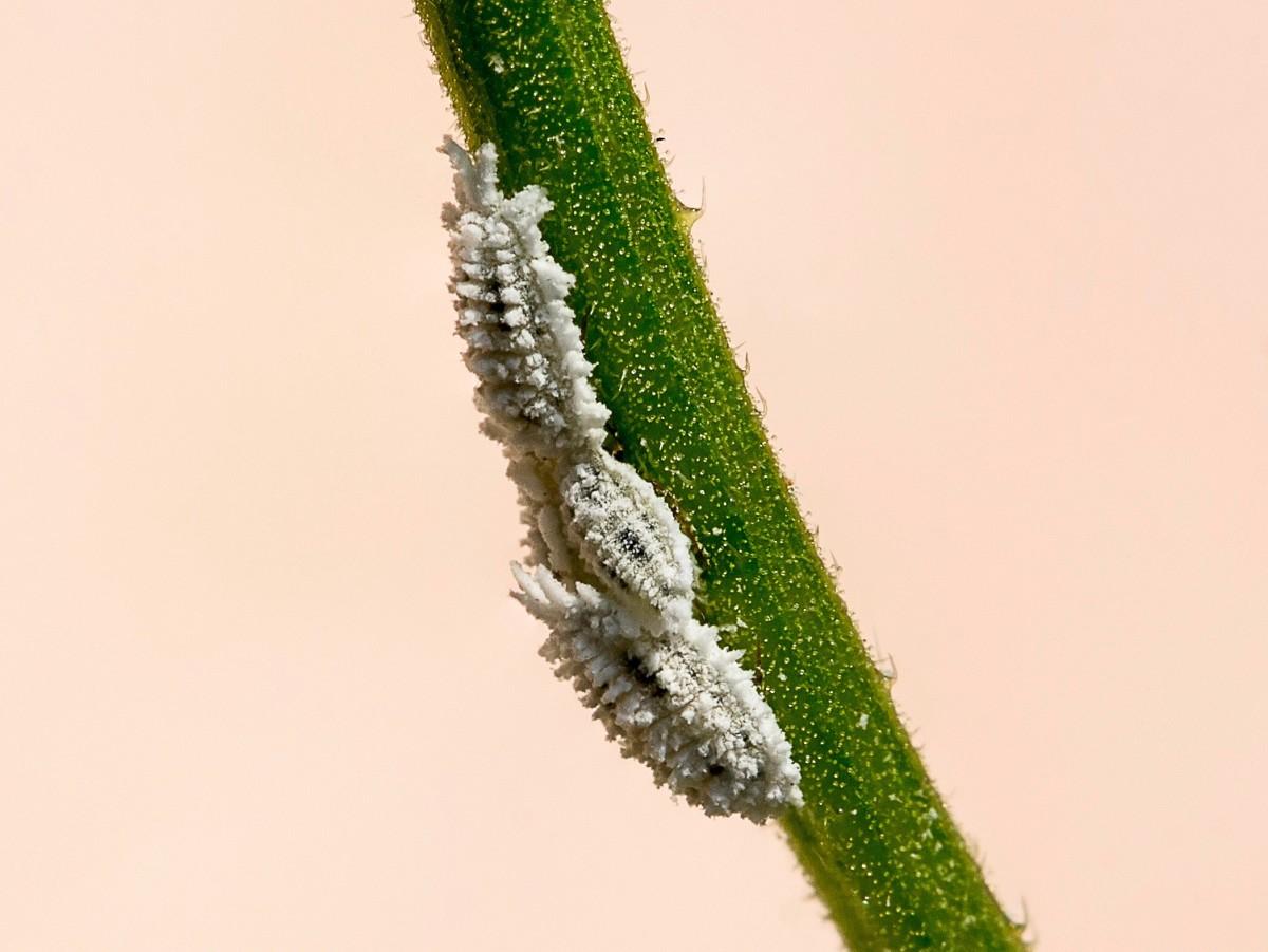 Mealybugs (unidentified species) on a flower stem