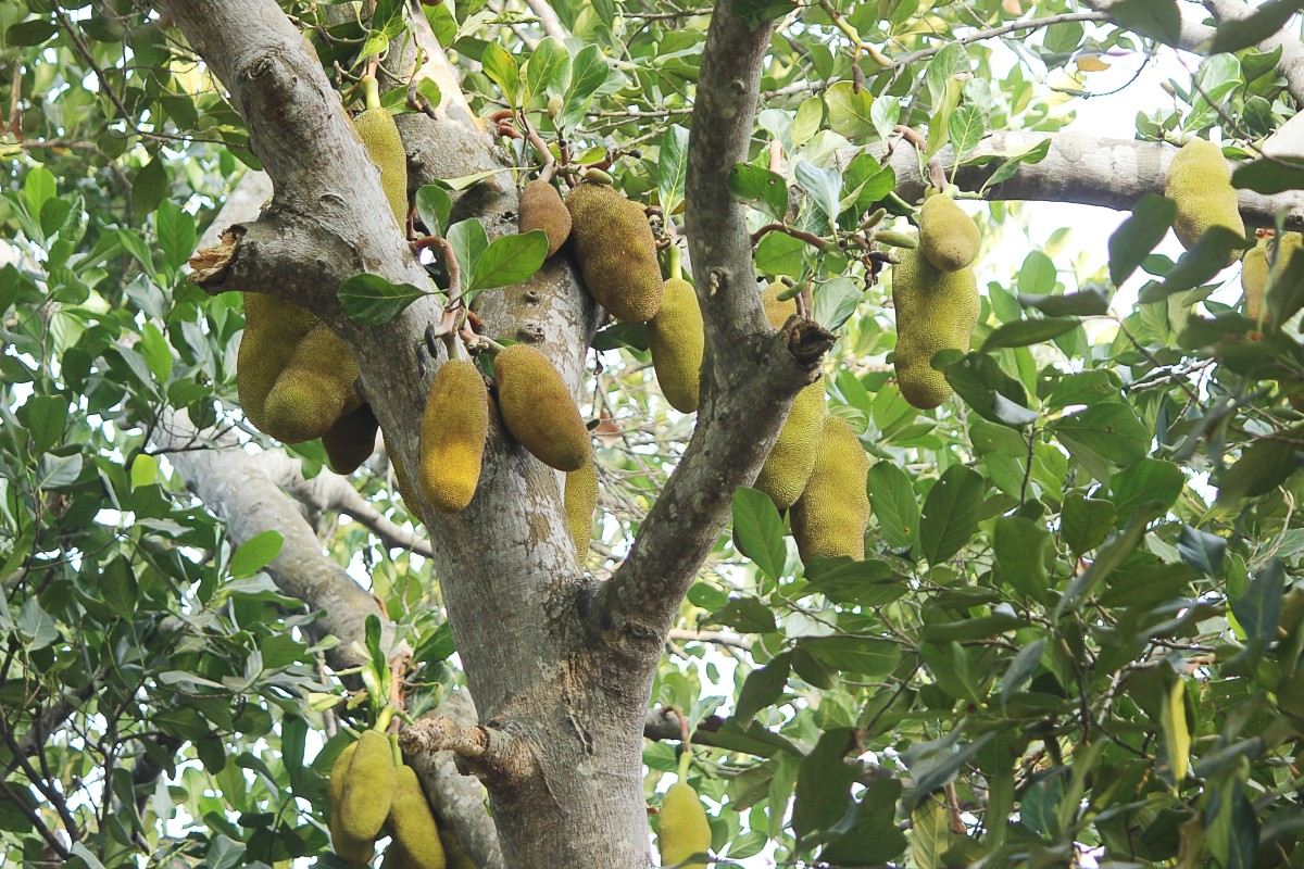 A jackfruit tree in Kerala