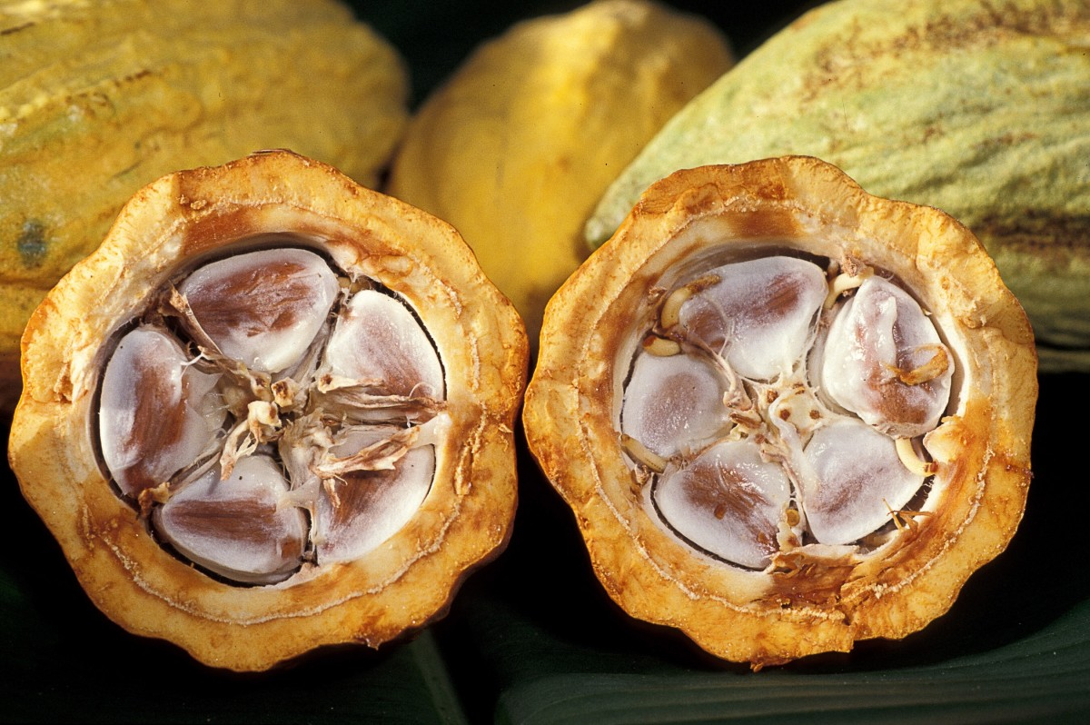 Cocoa beans in a pod