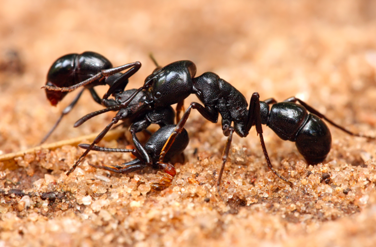 Pavement ants, doing what they do best -- killing each other.