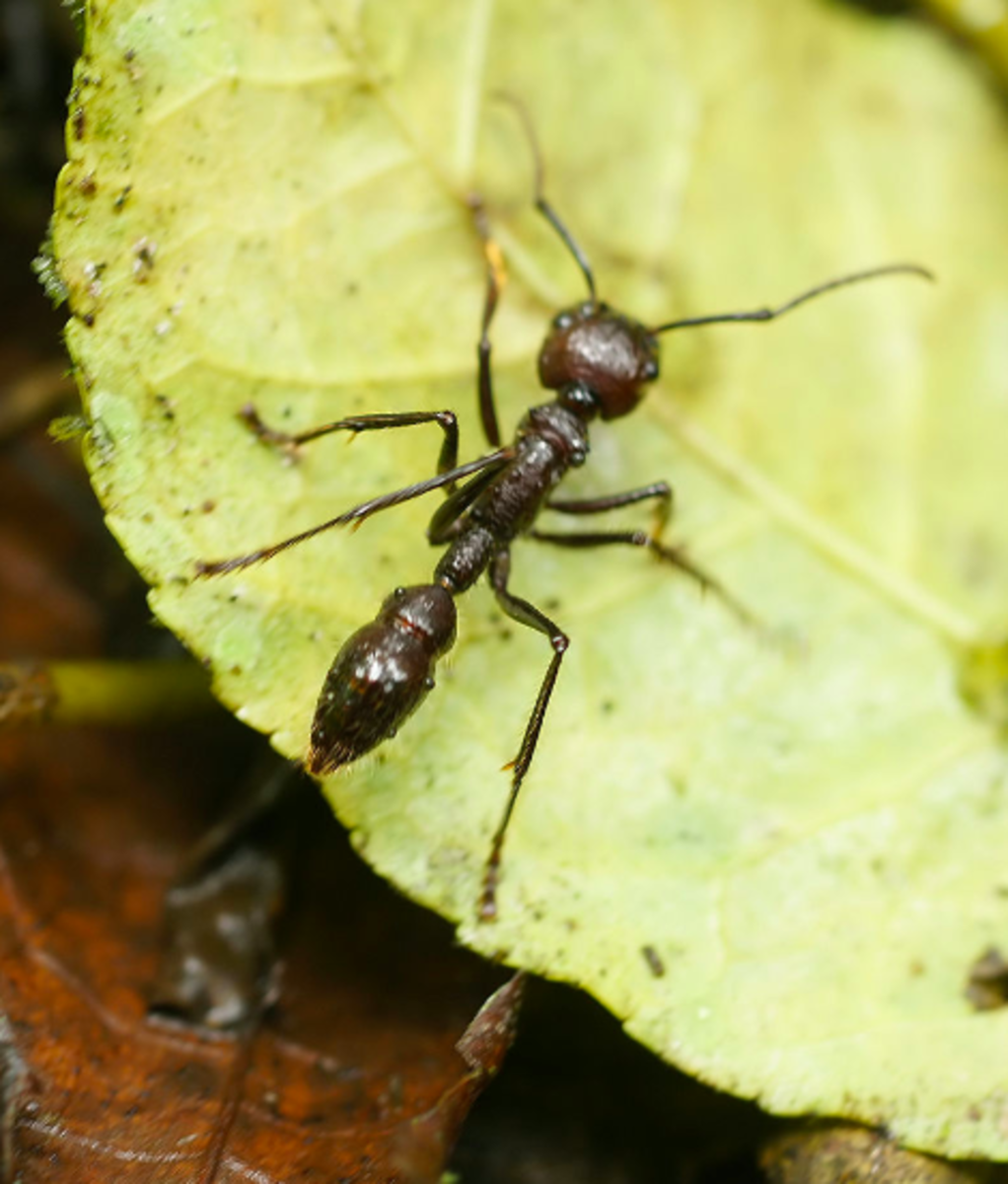 The fearsome bullet ant