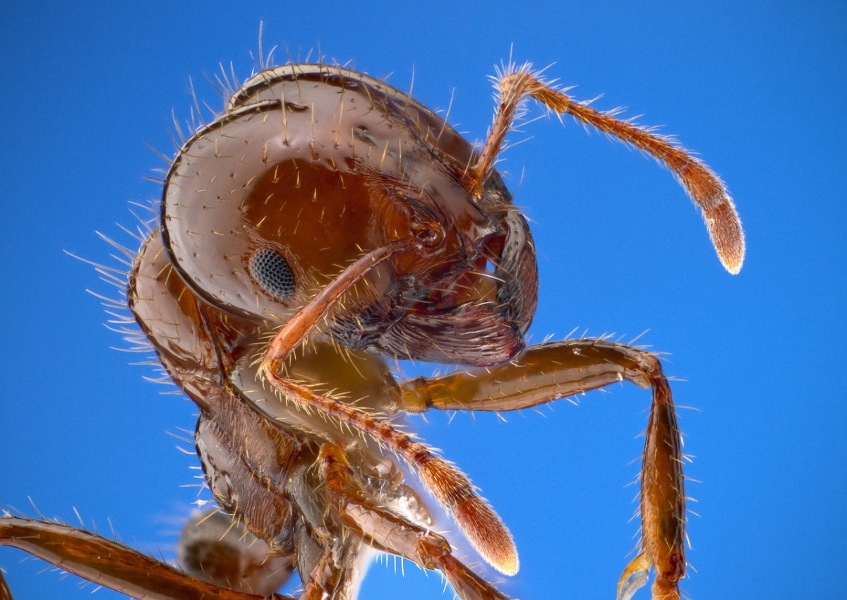 A fire ant close up, showing eyes, antennae, and biting mouth-parts