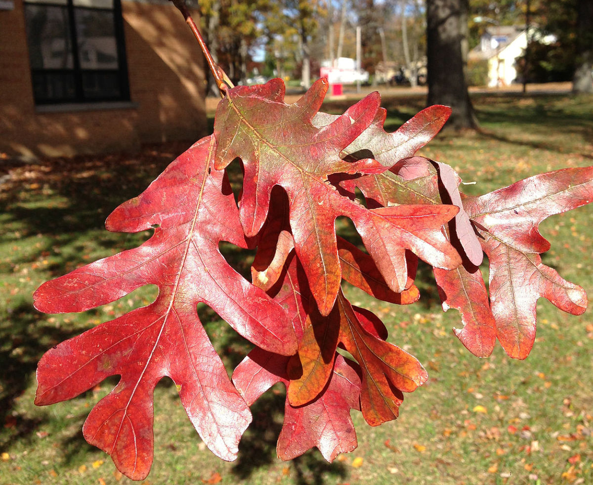 White oak leaves in autumn