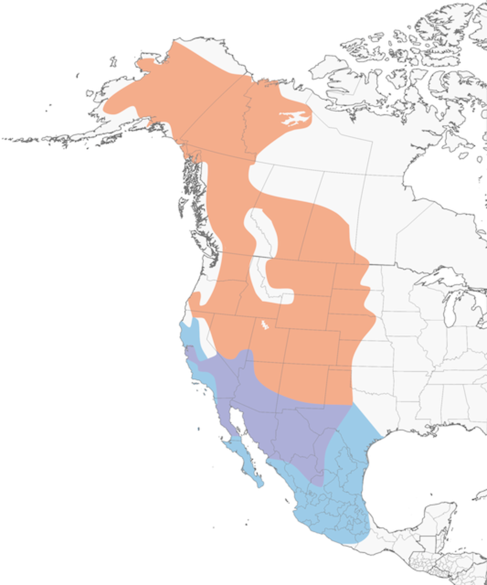 The bottom area in blue shows the non-breeding area for the Say's Phoebe.  The purple shows where they be found year-round.  The peach-colored area shows where they can be found during breeding season.