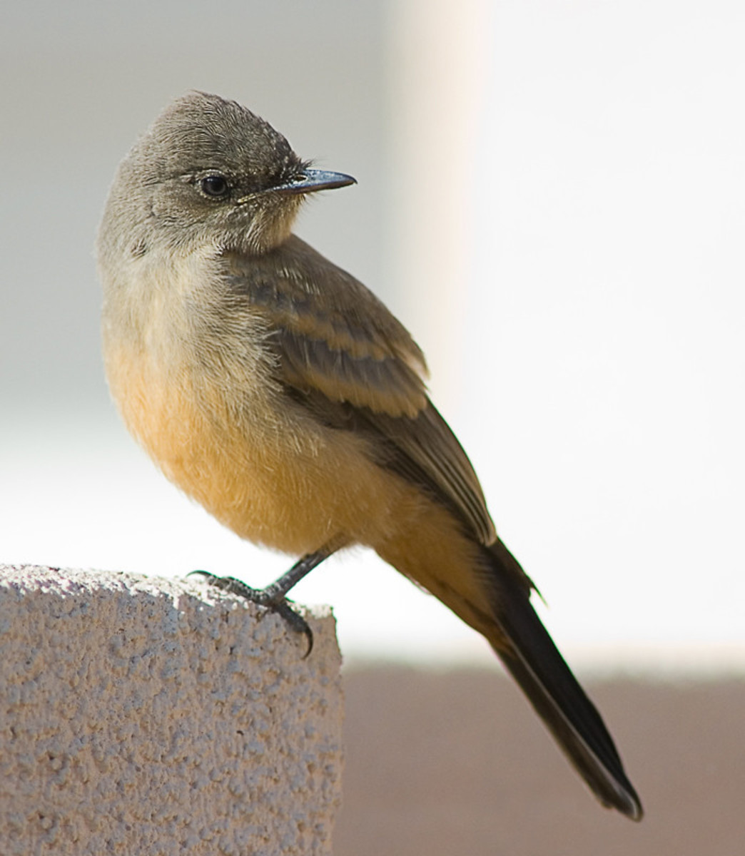 This is a juvenile Say's Phoebe; note the tawny wing bars that distinguish it from the adult birds.