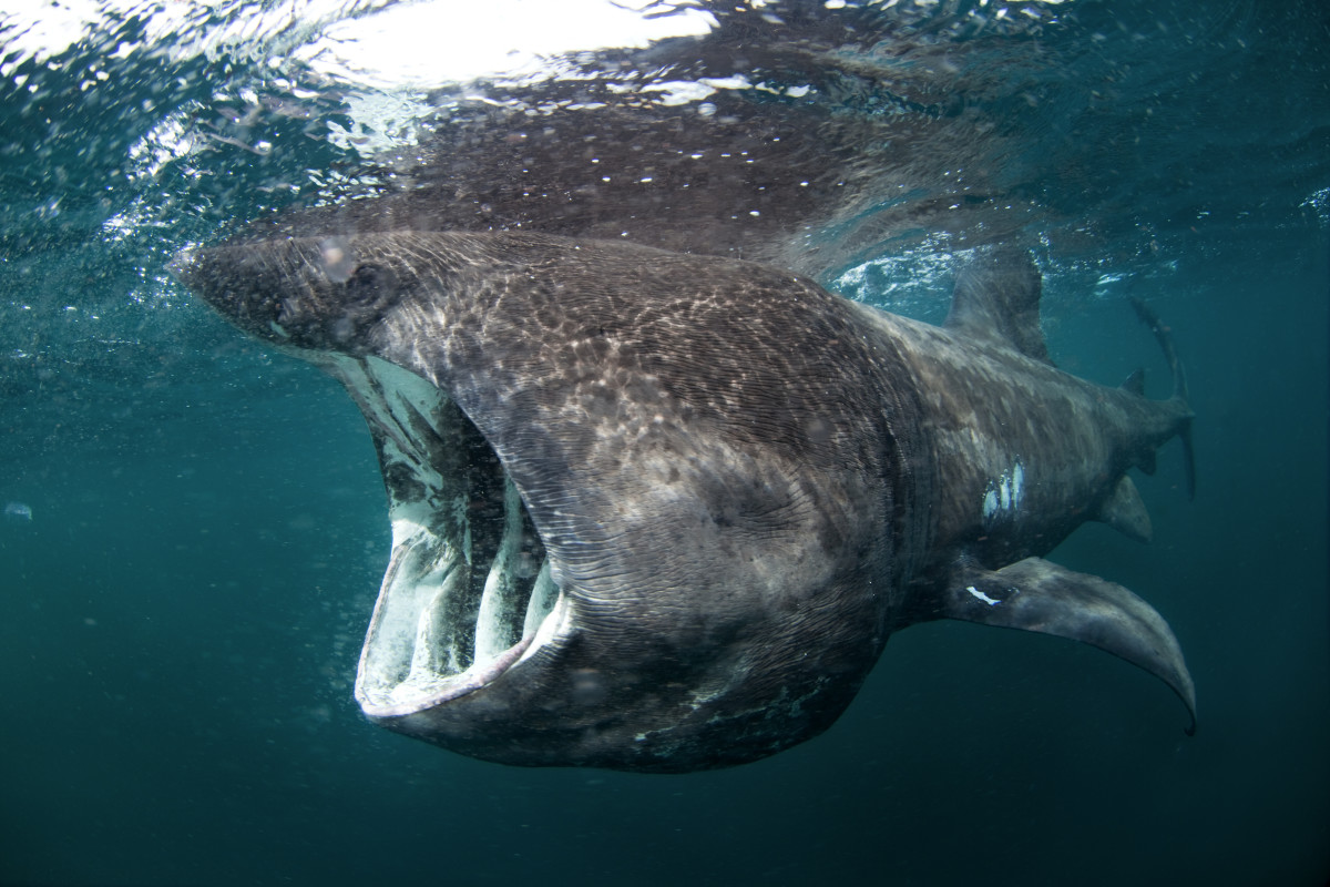 The Basking shark, is one of three plankton-eating sharks, and are completely harmless to humans, and actively non-aggressive.