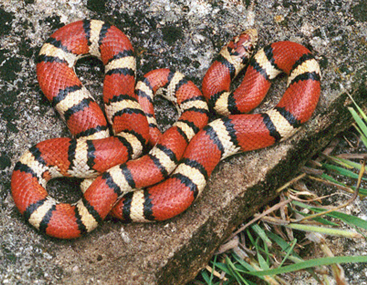 The milk snake's costume is all an act to scare away potential predators.