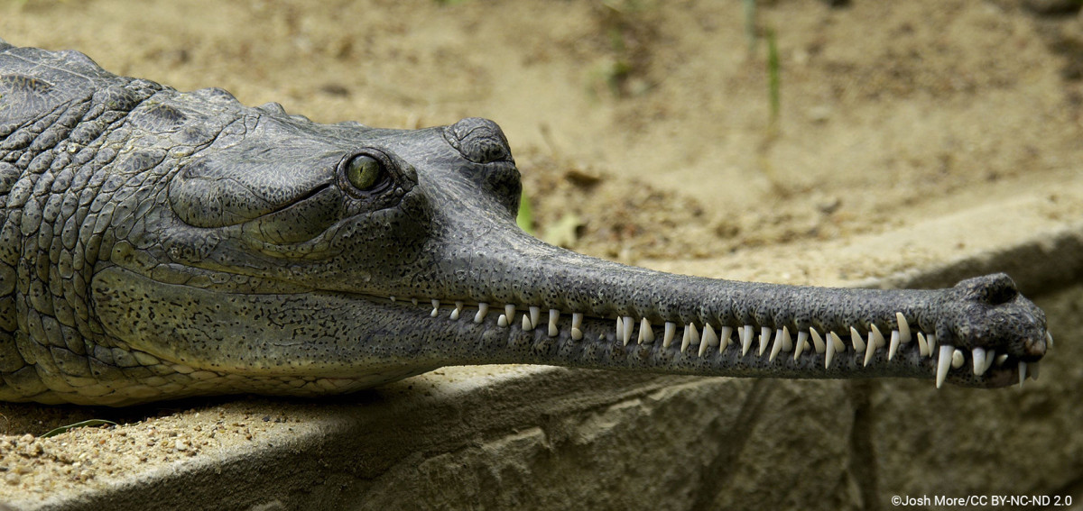 Unlike crocodiles, the Gharial is known to be almost harmless to man.