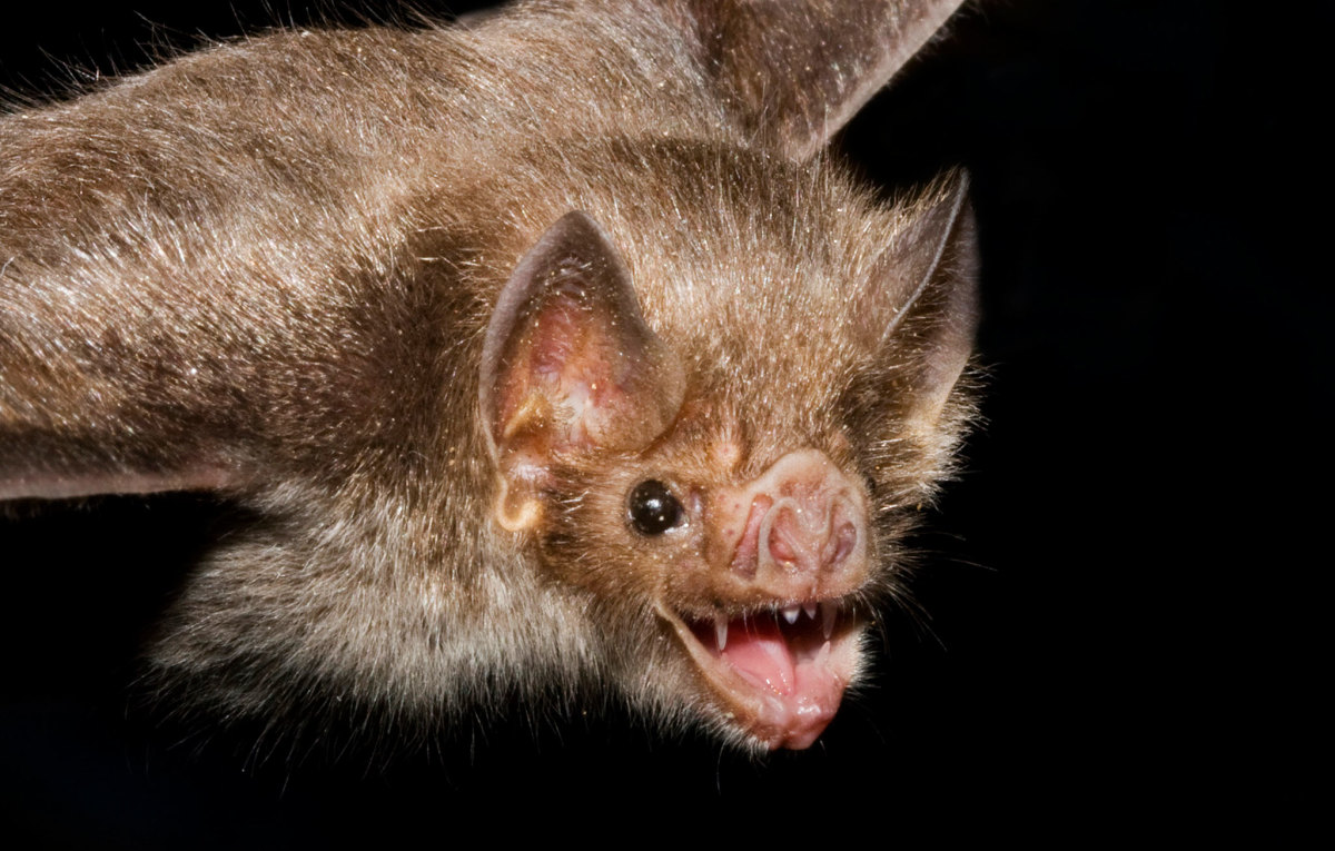 You are much more likely to die from a bee sting or dog attack than from a vampire bat bite.