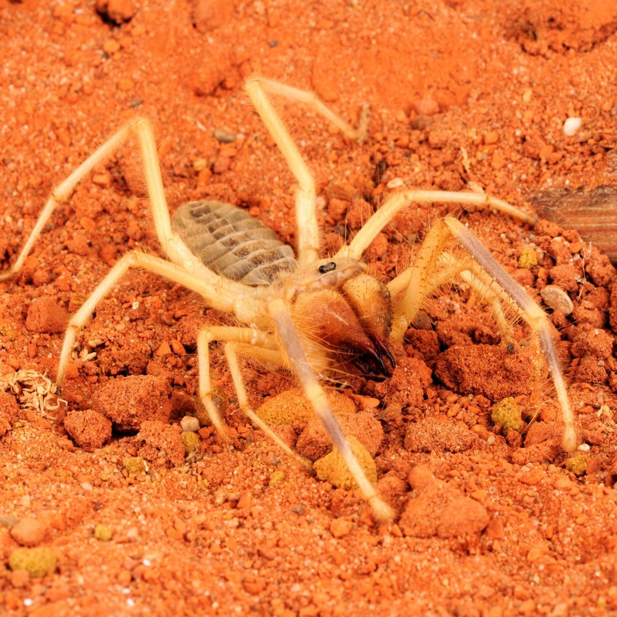 Camel spiders became an Internet sensation during the Iraq war of 2003, when rumors of their bloodthirsty nature began to circulate online