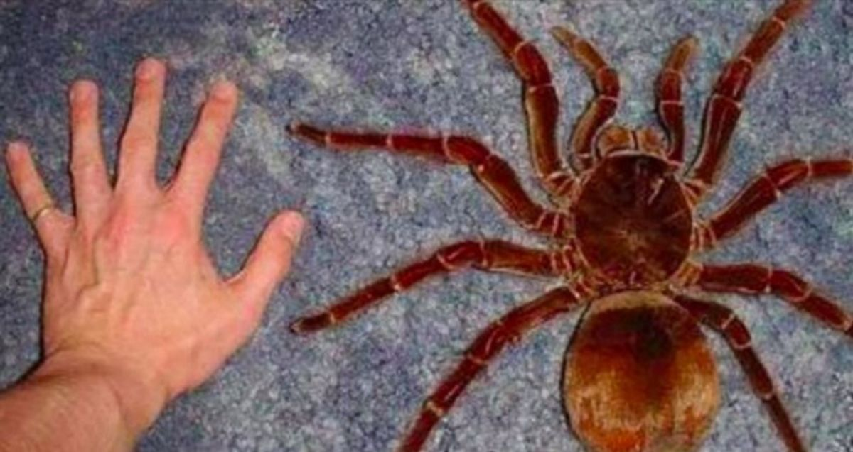 The Goliath Birdeating spider is pretty harmless to humans, as are most species of tarantulas.