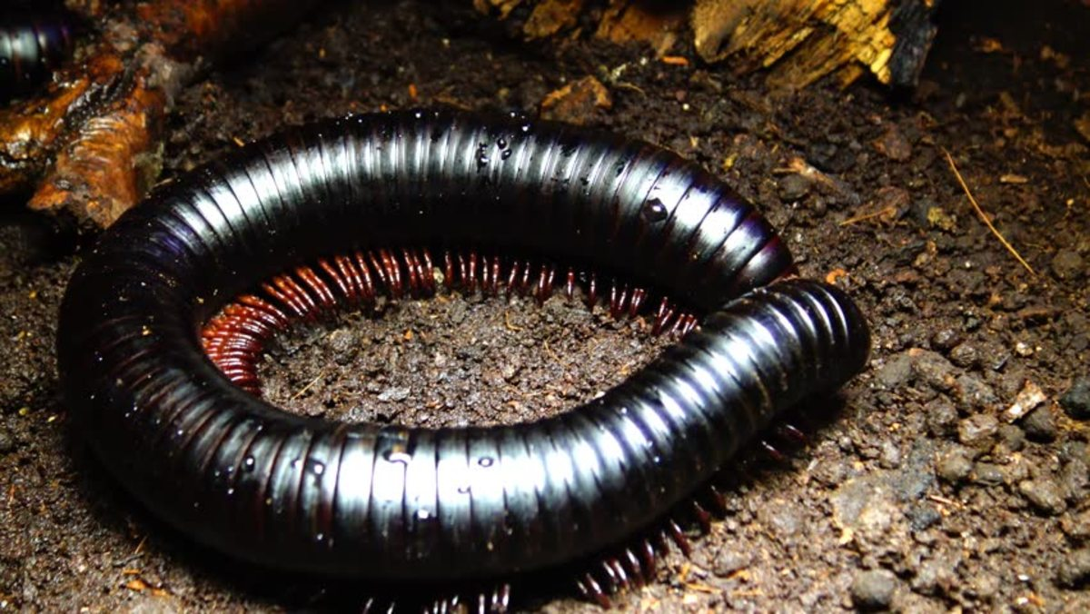 African Giant Black Millipedes are beautiful, extremely docile, moisture-loving giants that make the perfect pet arthropod!