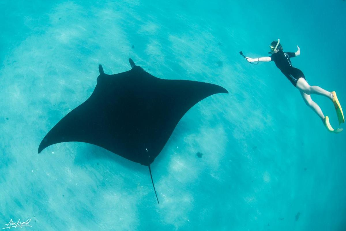 The Manta Ray is harmless to humans although they belong to the same group as sharks with their cartilaginous skeletons.