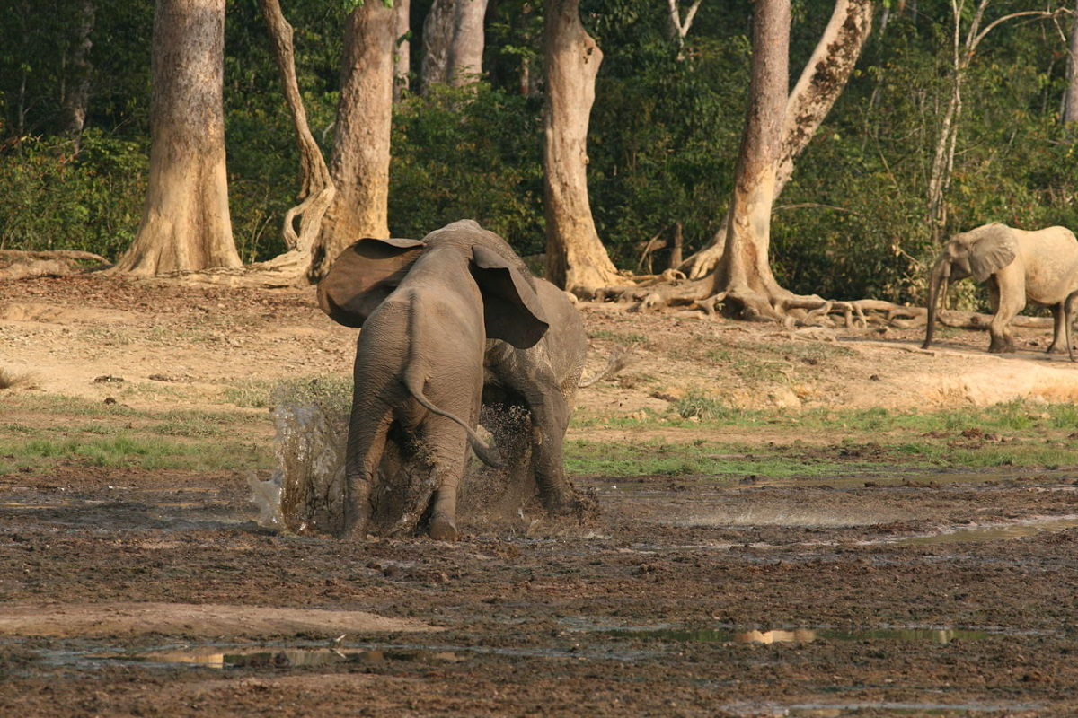 Males challenging each other at a watering hole