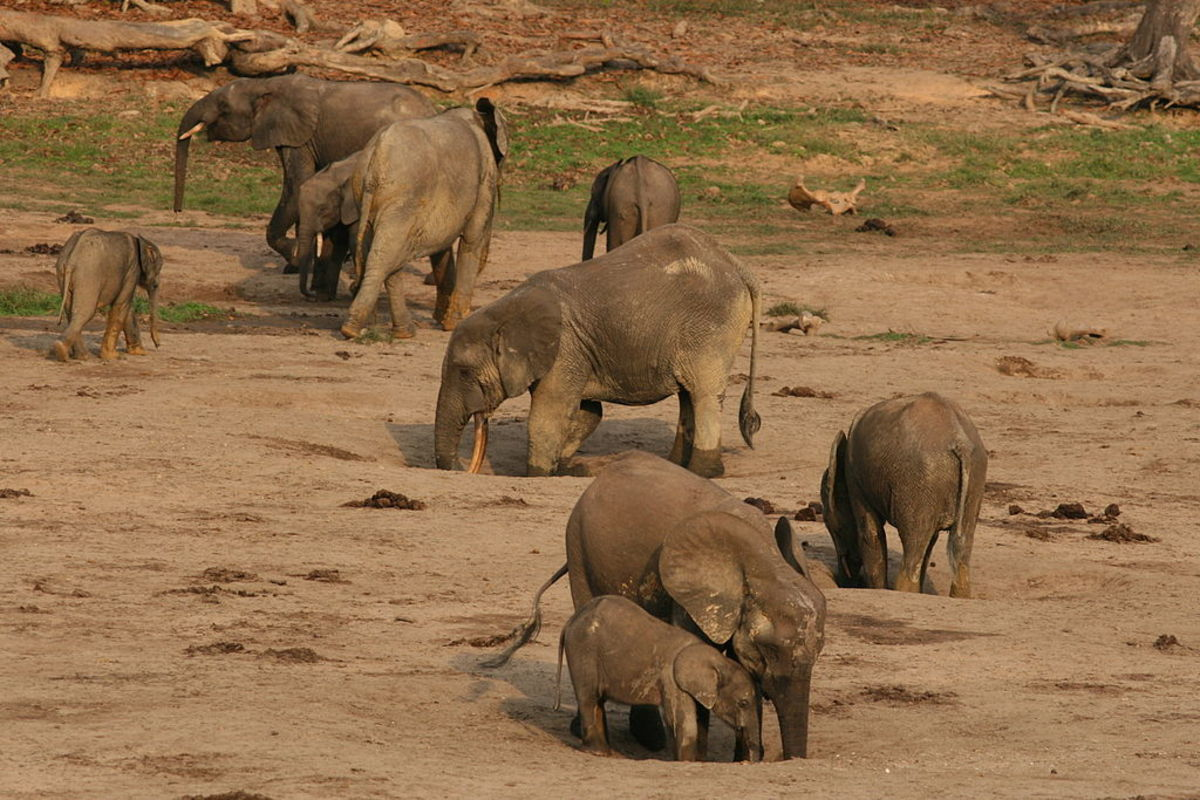Forest elephants obtaining water and minerals