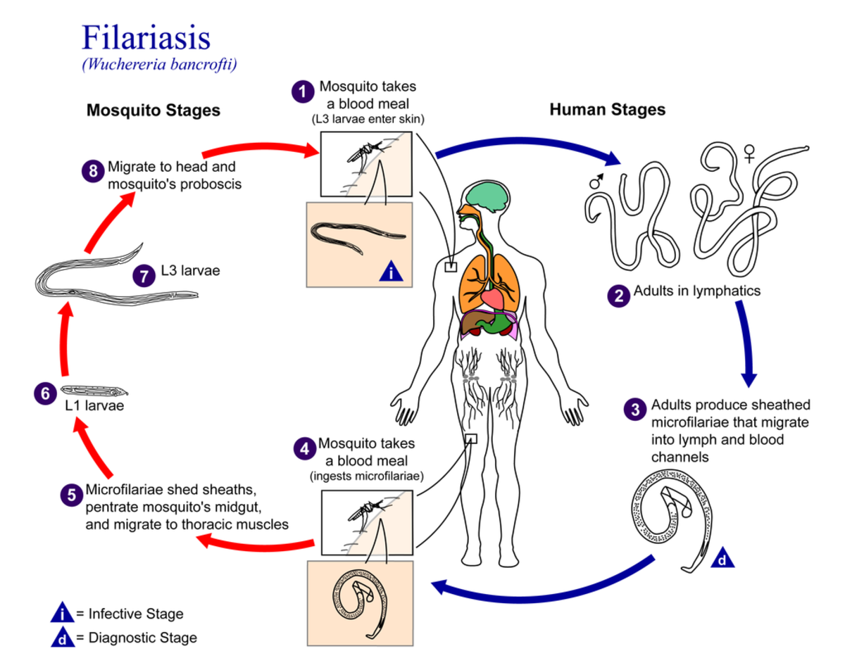 Filariasis infection (cycle).
