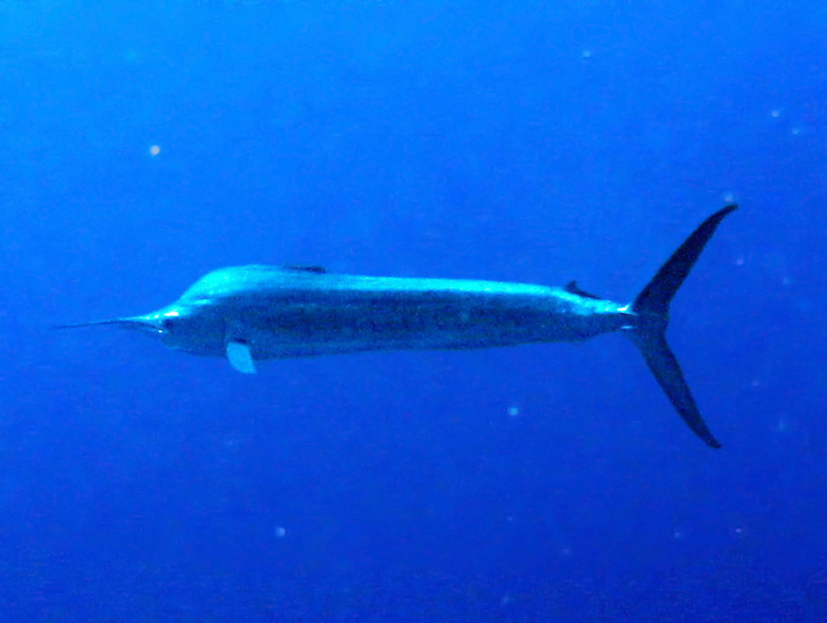 Blue Marlin (Underwater).