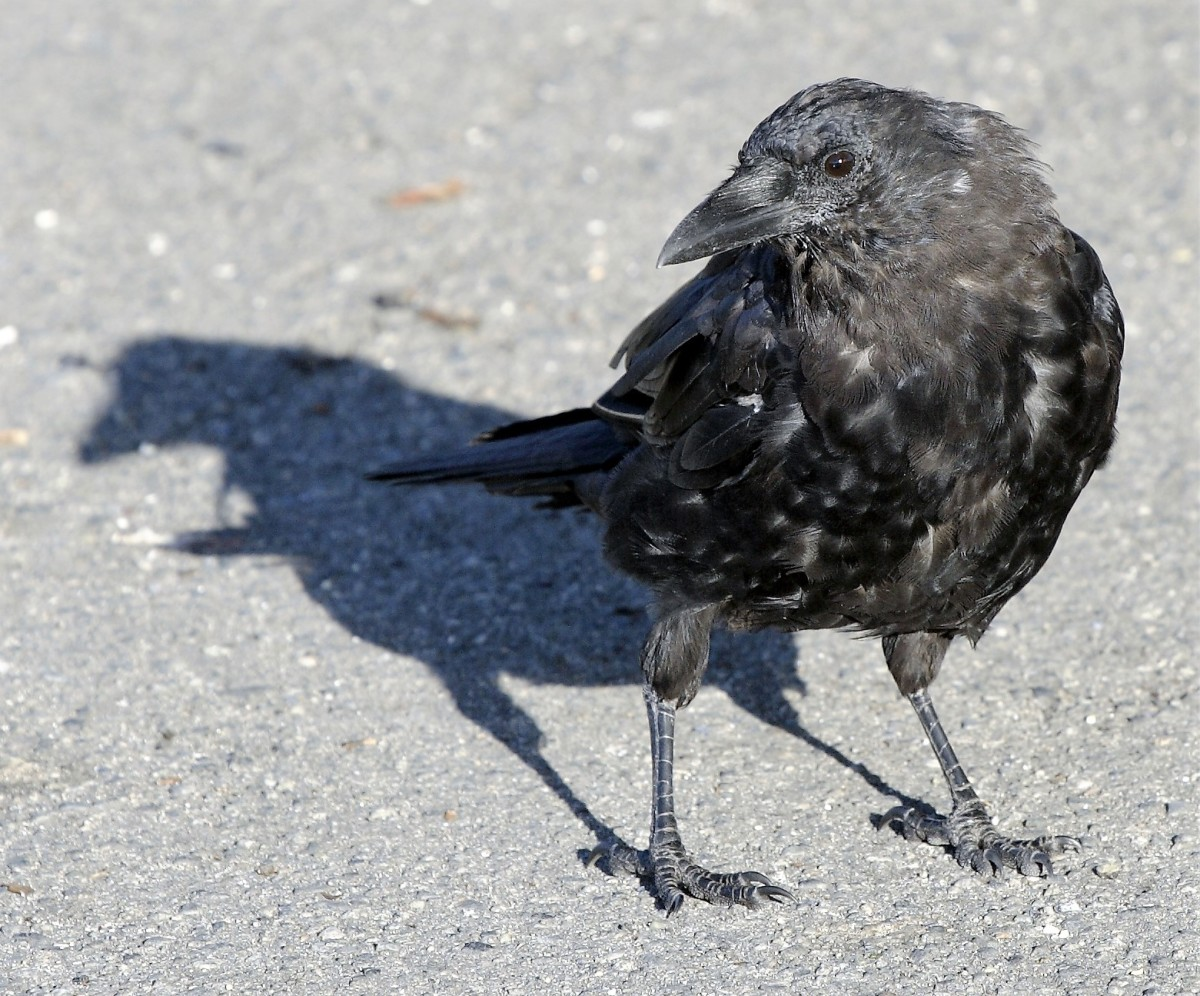 A northwestern crow in Vancouver