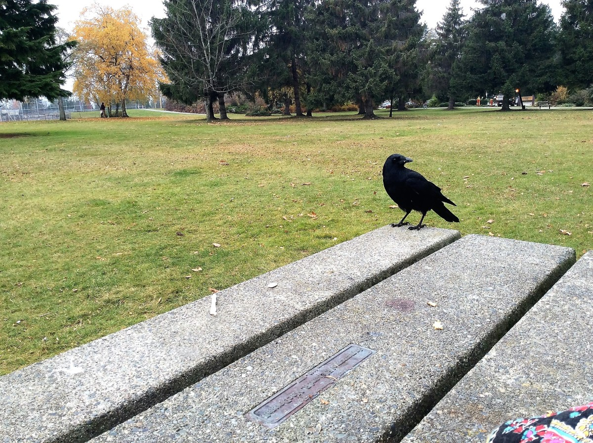 A crow watching me to see if I have food
