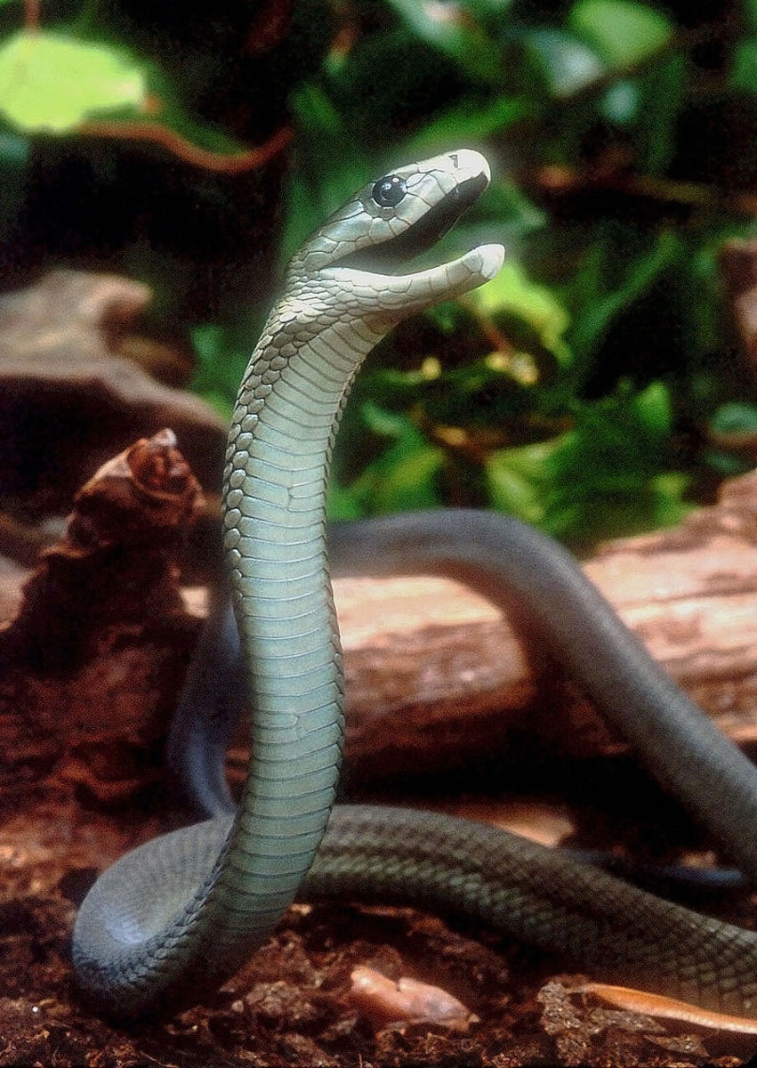 Pictured above is a Black Mamba preparing to strike. Notice how the snake raises its head and body in a manner similar to the Cobra.