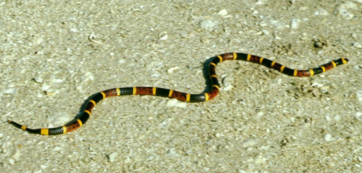 The highly venomous (and extremely dangerous) Eastern Coral Snake.