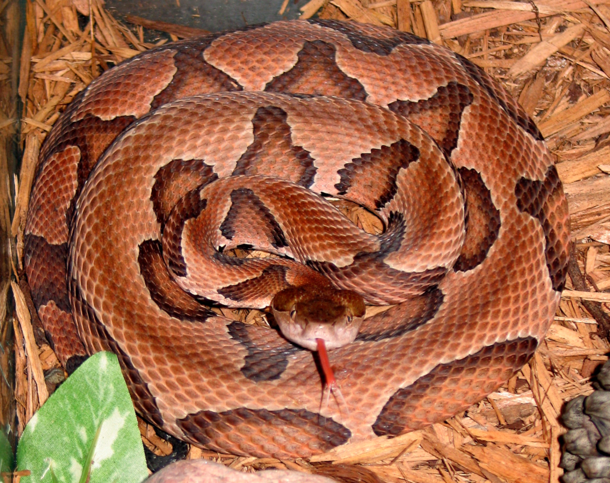 The venomous Copperhead.