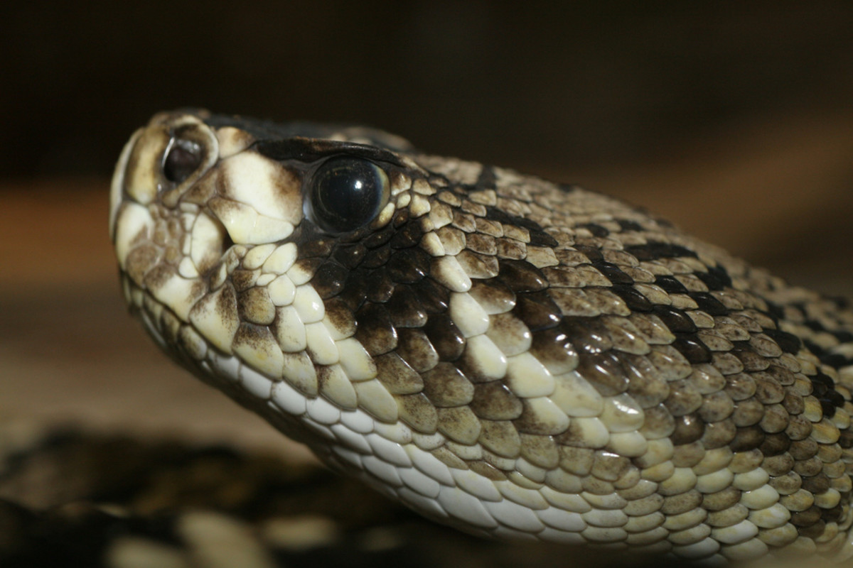 The deadly Eastern Diamondback Rattlesnake.