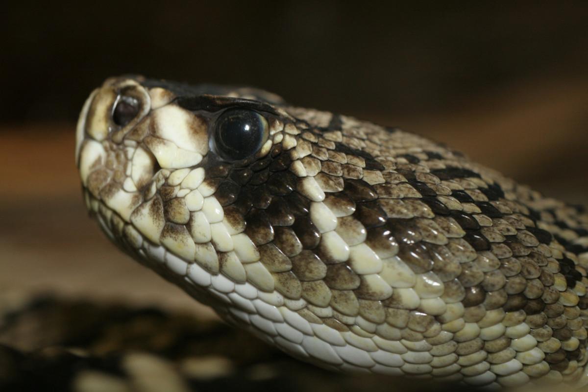 The deadly Eastern Diamondback Rattlesnake.