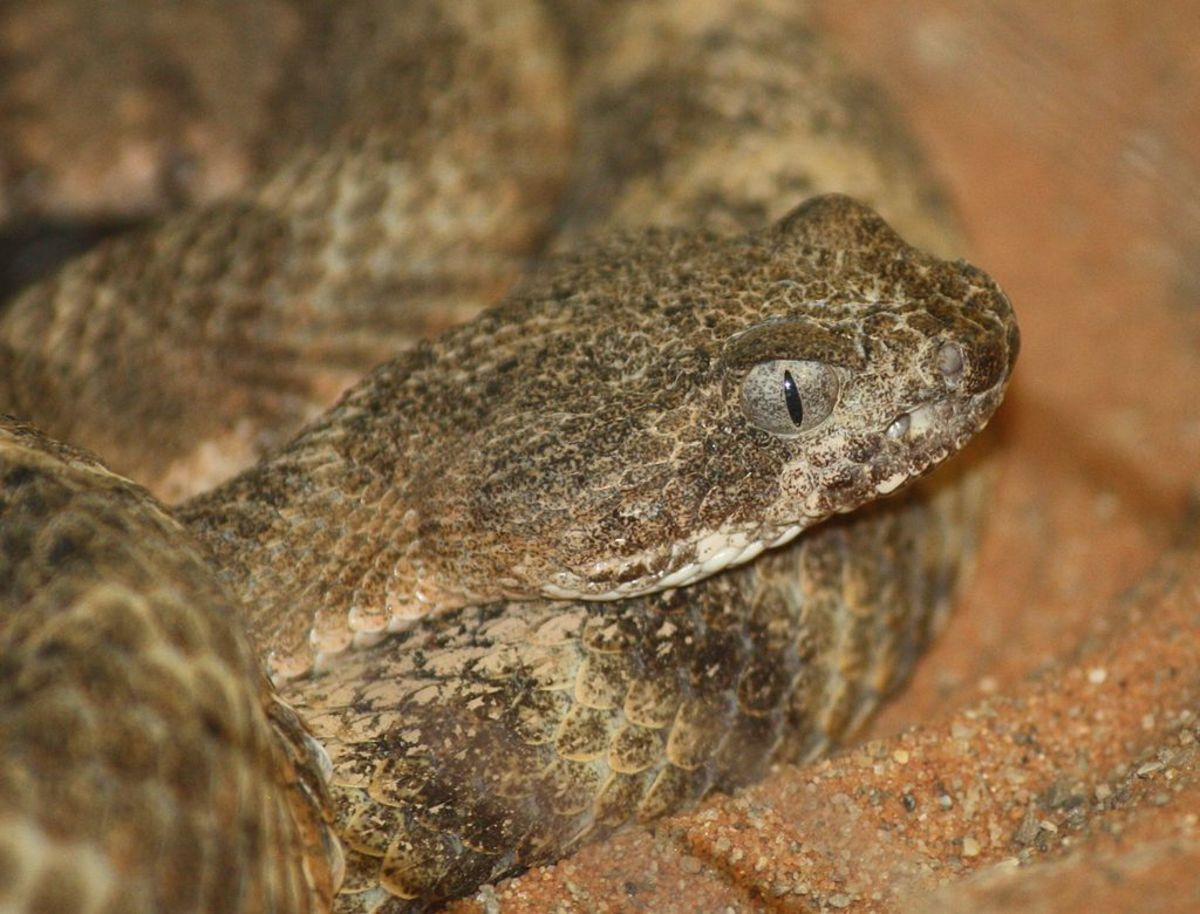 The notorious Tiger Rattlesnake.