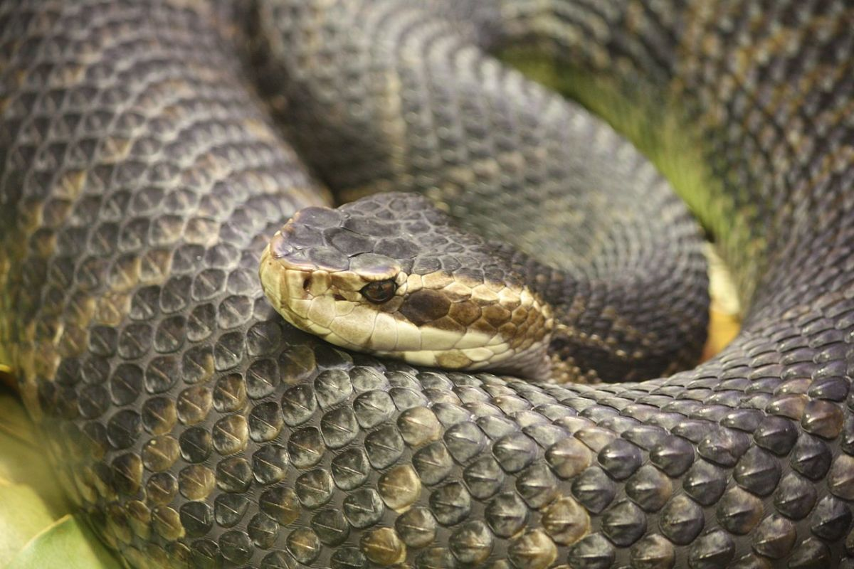 The dangerous and highly venomous Cottonmouth (Water Moccasin).