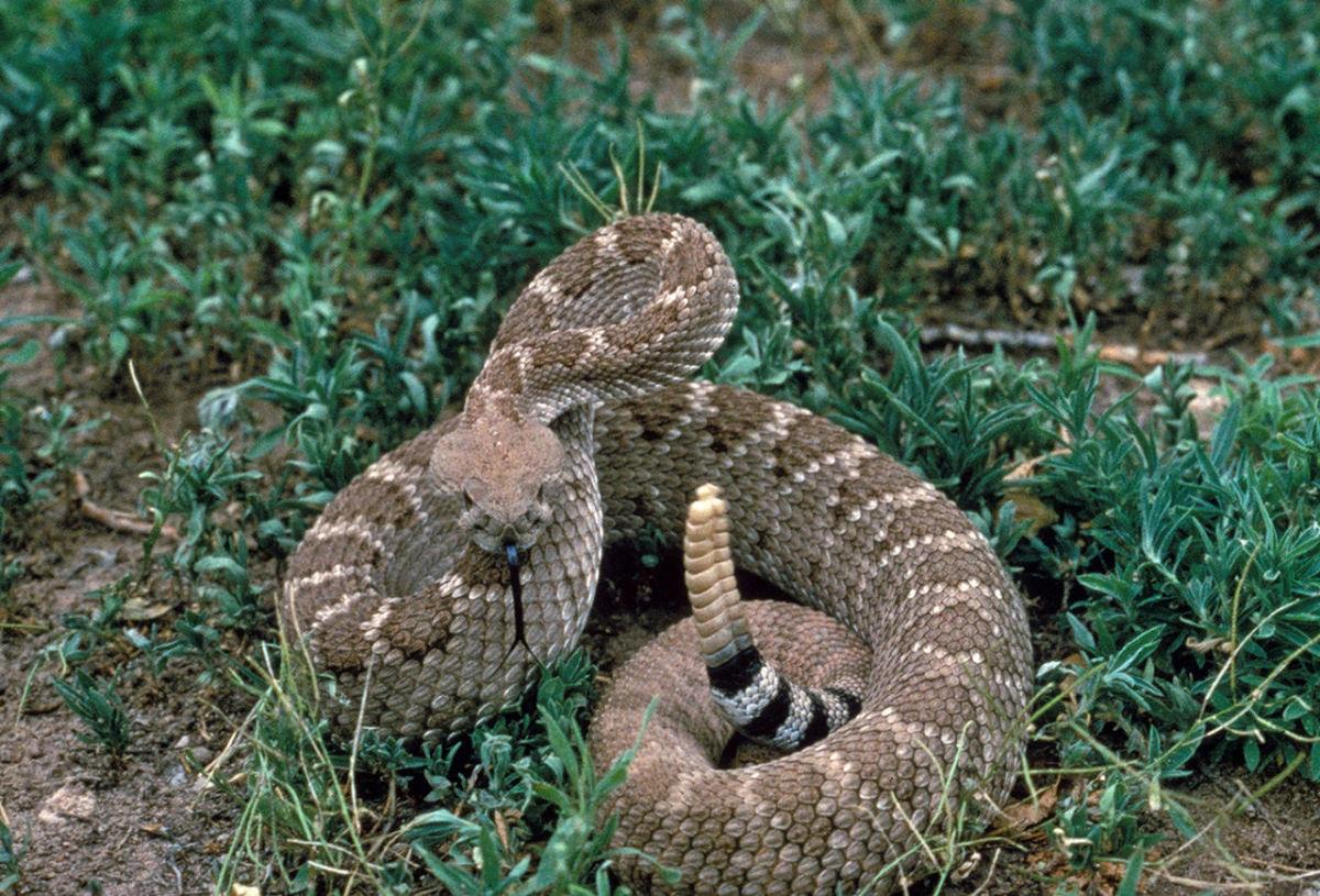 The extremely dangerous Western Diamondback Rattlesnake.