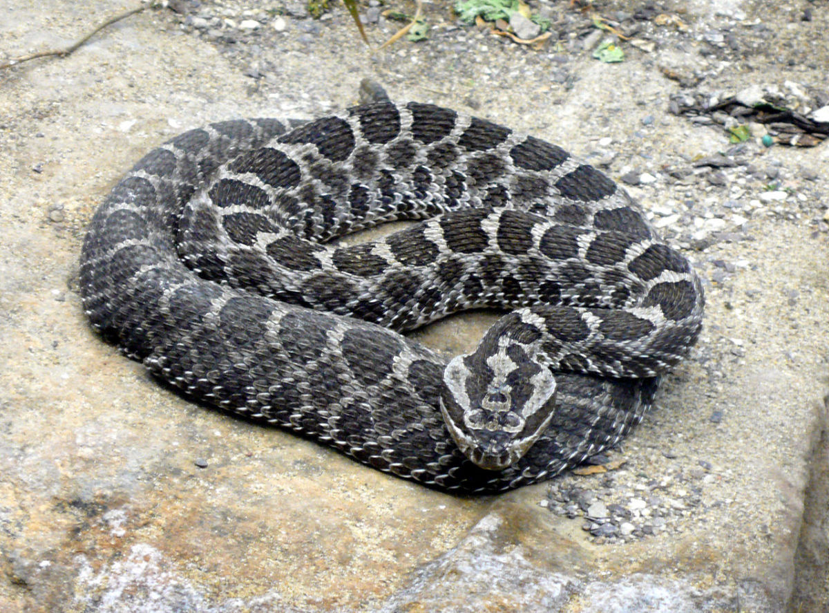 The Massasauga Rattlesnake. Notice its distinct coloration and crossbands.