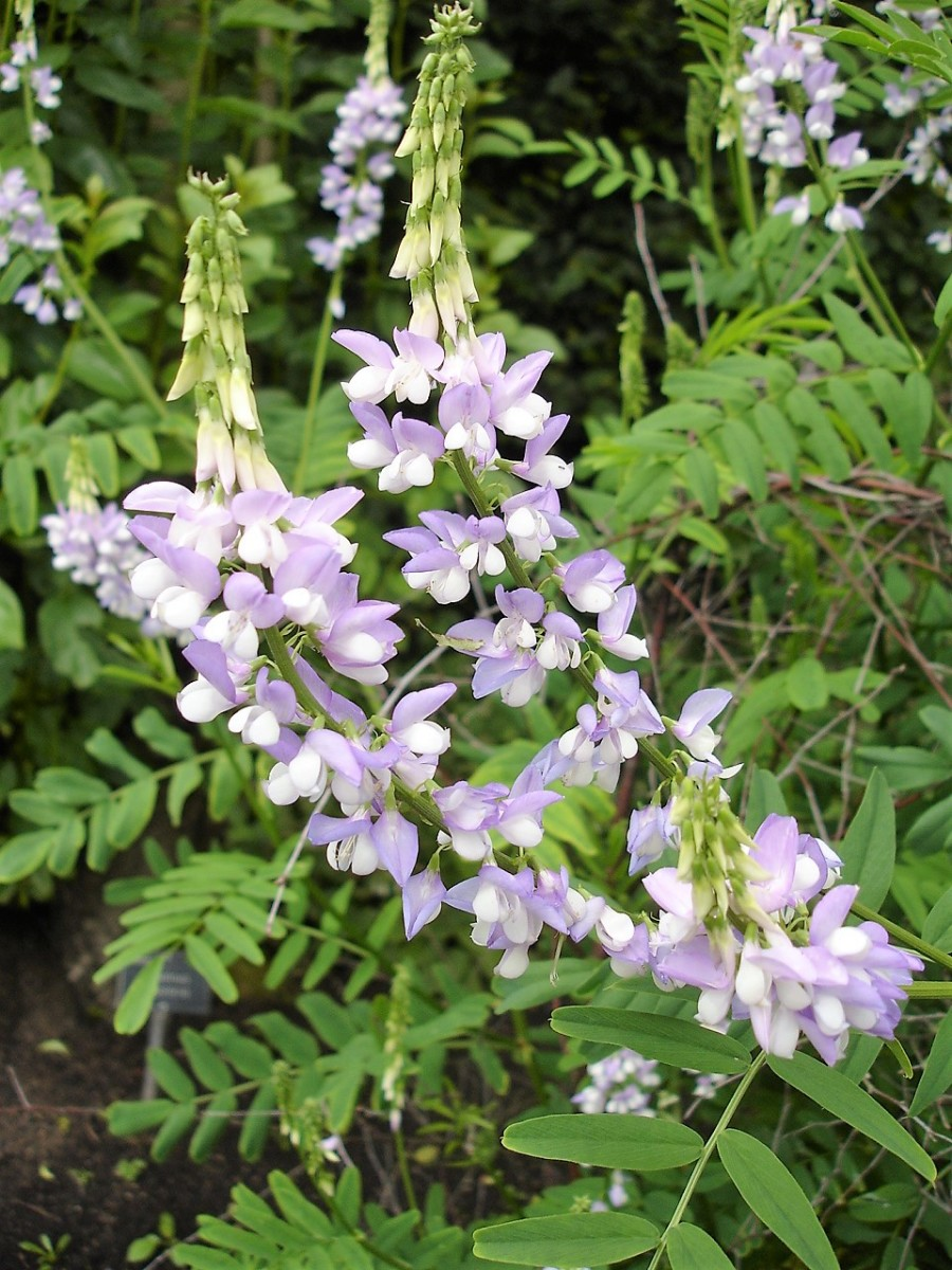 Galega officinalis, goat's rue, or French lilac