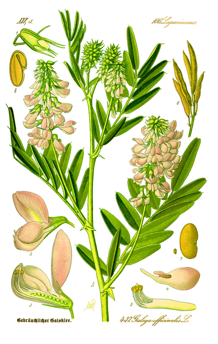 Goat's rue plant illustration from 1885
