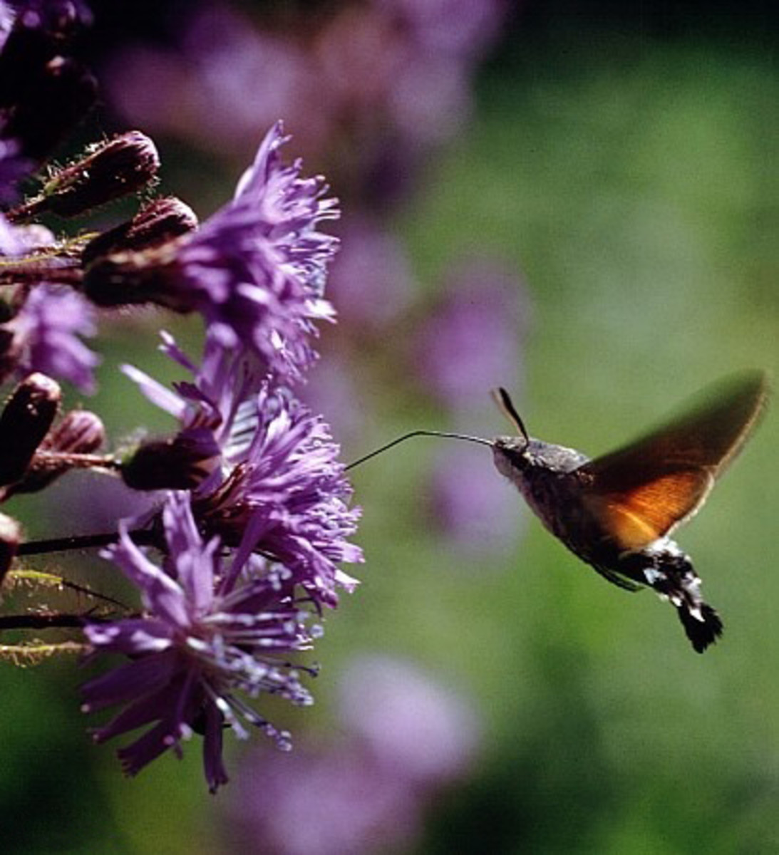 Cicerbita alpina pollinating