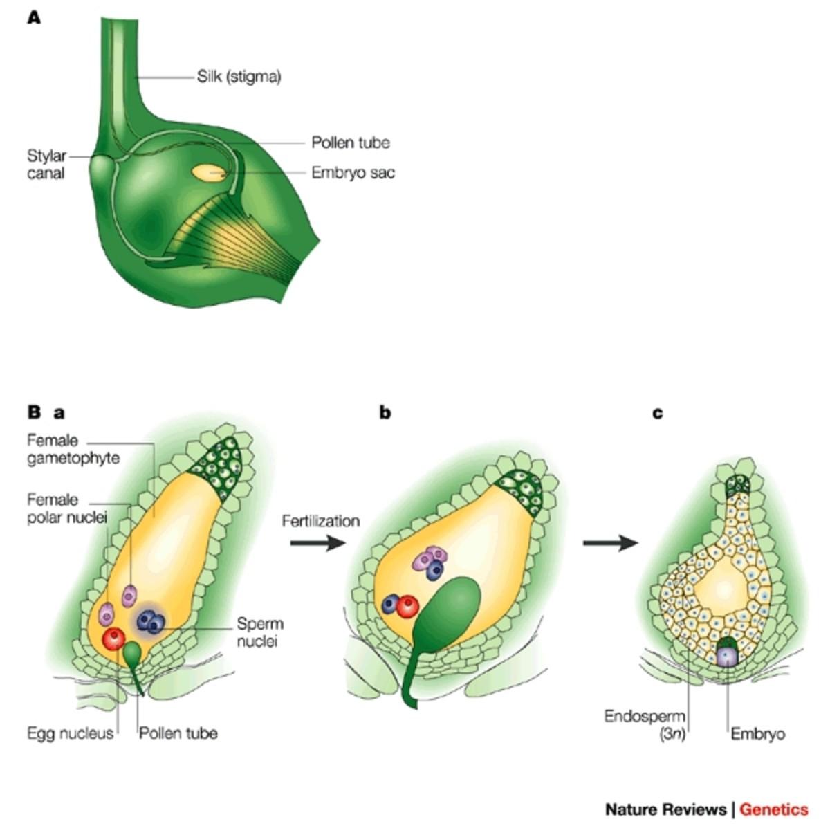 Fertilization in an angiosperm