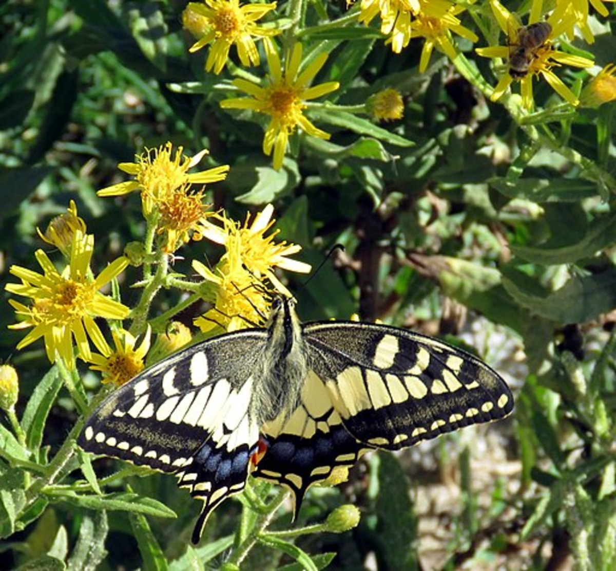 A common yellow swallow tail butterfly (Papilio machaon) and a bee of unknown species on yellow flowers.